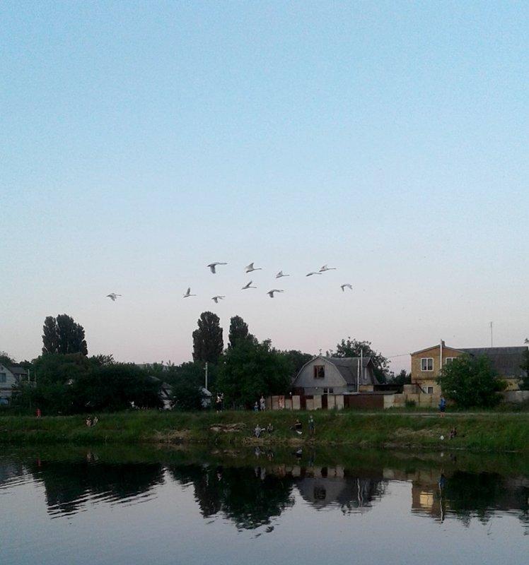 Лебеді гостювали на Княжицькому озері