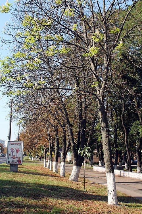 У Борисполі вдруге цвітуть каштани