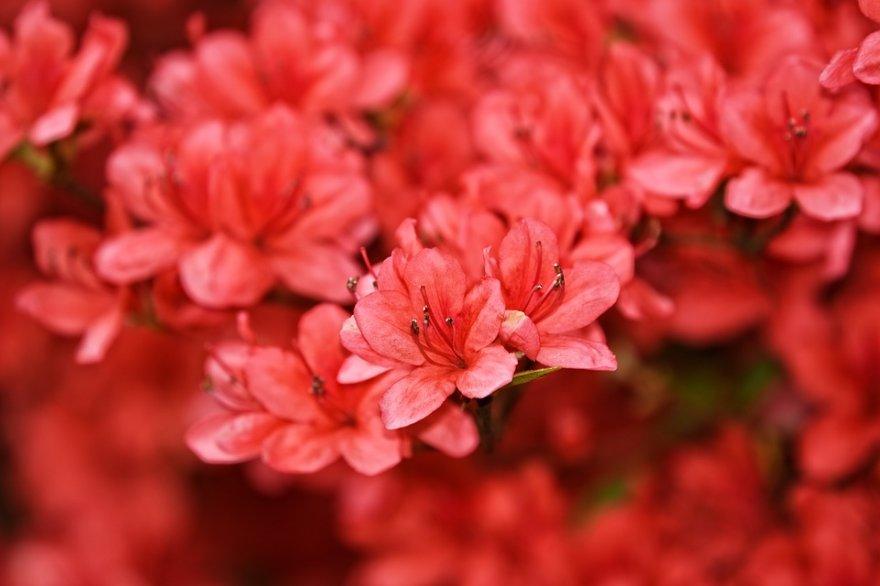 У Київському ботсаду розквітли рододендрони та бузок